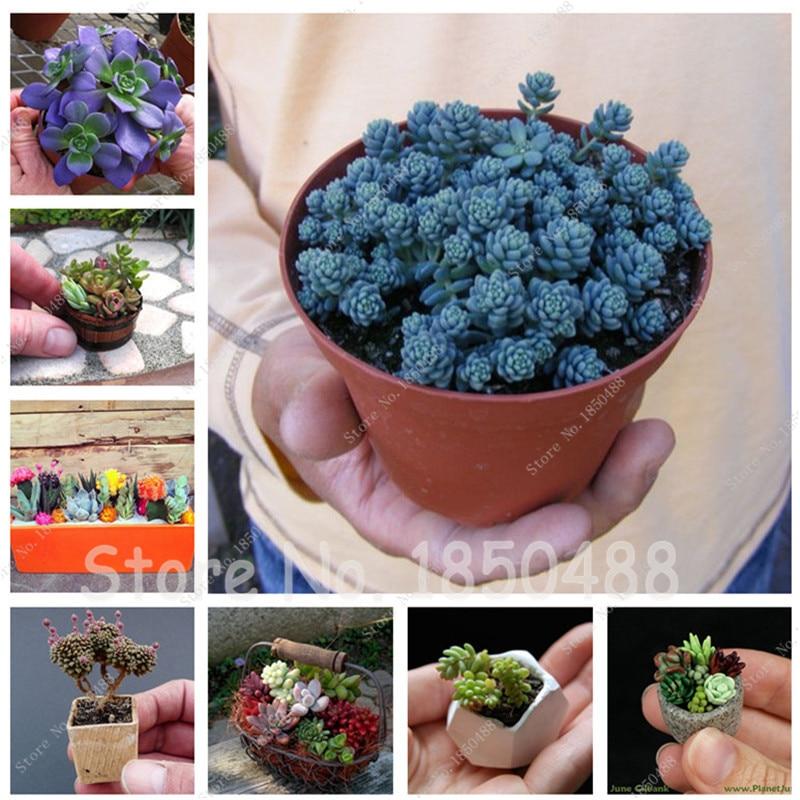 200 Succulent Plant Living Stones Lithops Cactus Seeds Lotus Flower Seeds  Garden Decoration Bonsai Flower Seeds