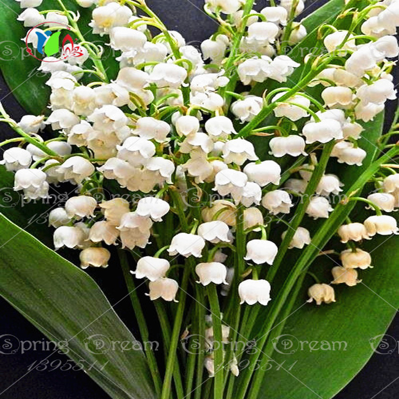 100 bell orchid seeds flower seeds rare beautiful seeds for home decoration and wedding decoration