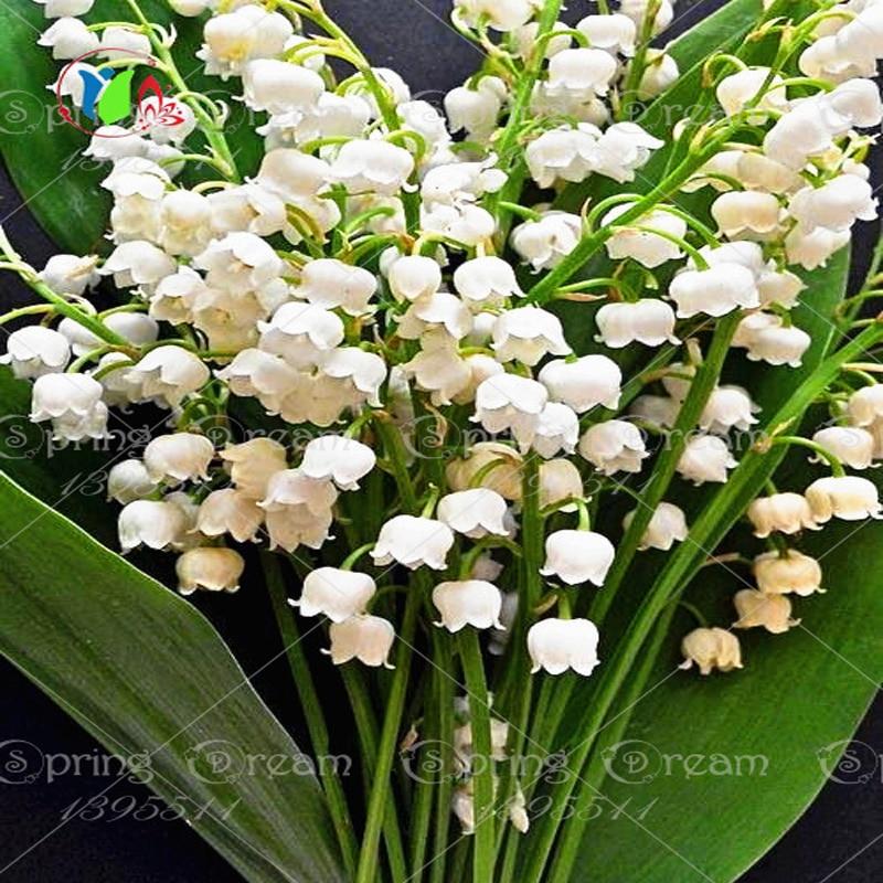 100 cloche orchidée graines graines de fleurs rares belle graines pour la  maison décoration et décoration de mariage