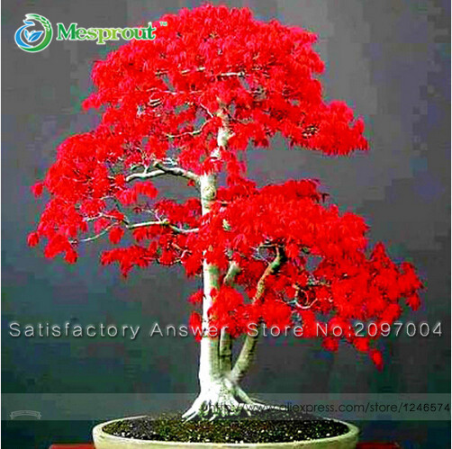 Loss Promotion! Potted Plant seeds 100% True Japanese R