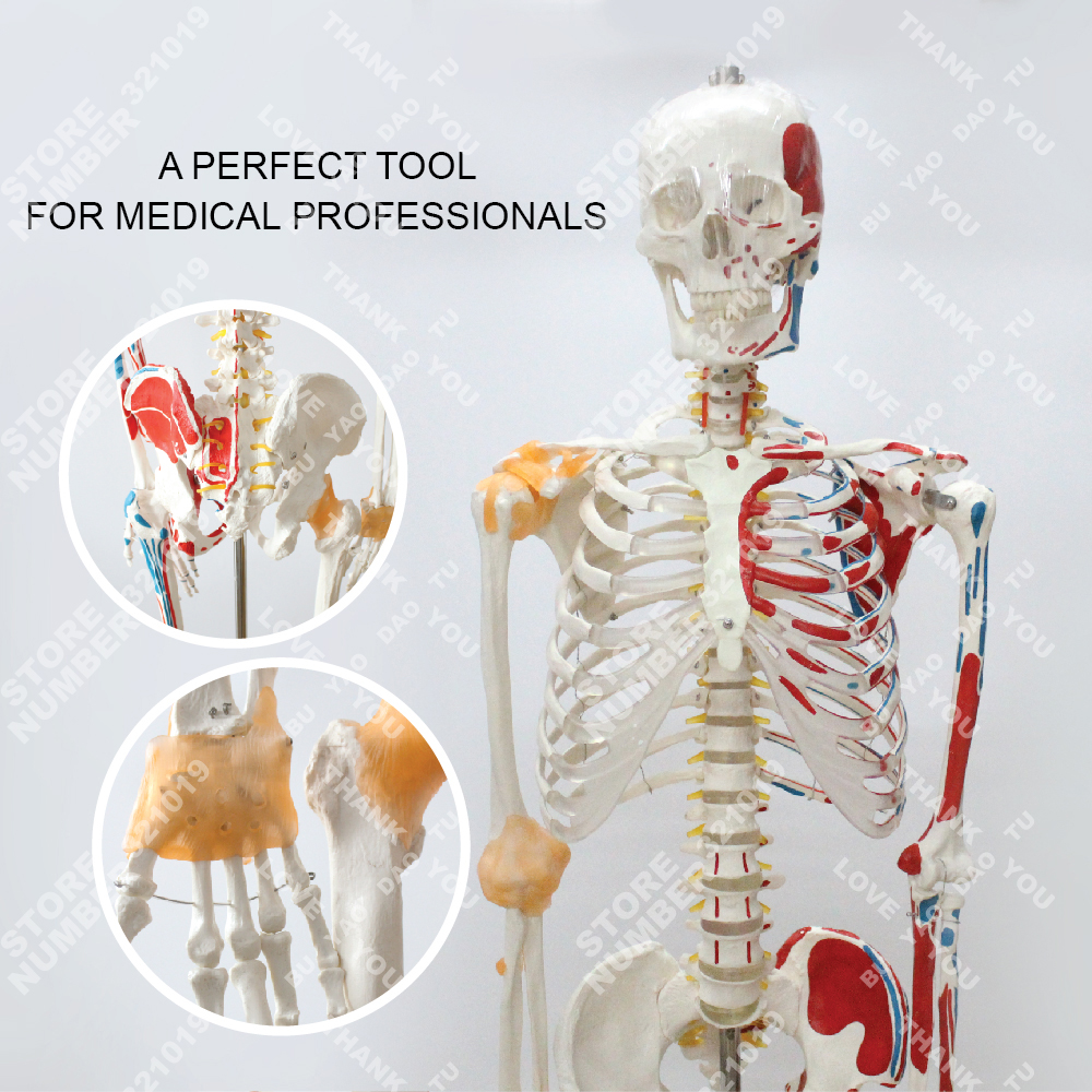 Anatomía modelo de esqueleto Humano con ligamento articular y ...