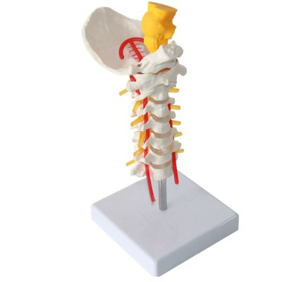Cervical Model Carotid Artery Spinal Cord Cervical Vertebra
