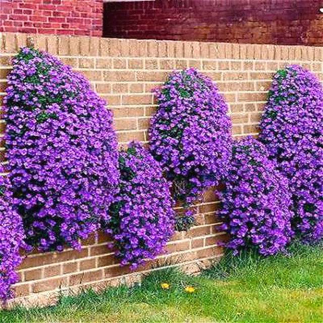 Online shop climbing flower aubrieta plants 100pcs purple flowers climbing flower aubrieta plants 100pcs purple flowers bonsai perennial ground cover blooming diy plant for home garden decoratio mightylinksfo