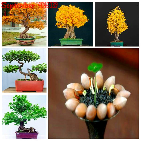 5Pcs Ginkgo Biloba Bonsai Unique Species Of Maidenhair Tree Bonsai Sprouting 95% Fruit Tree Potted Plants Strong Adaptability