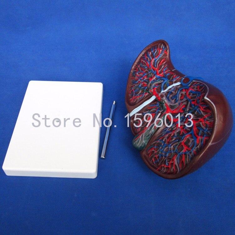 Анатомическая модель печени, печень человека с защитой от изнашивания модель мочевого пузыря