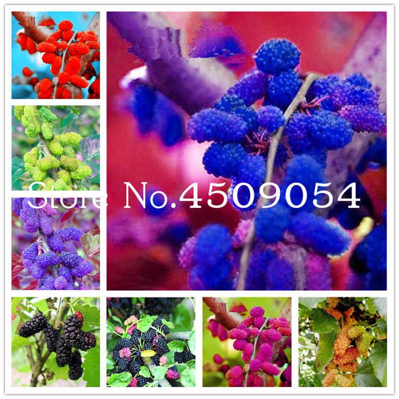 1000 Pcs Rare Mulberry Bonsai Rare Mulberry Tree Exotic Plant Pakistan Fruit Bonsai Large Super Sweet Non Gmo Food For Garden