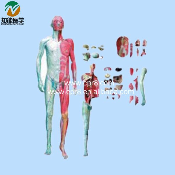 Human Body Anatomy Model(With Muscle And Inner Organ)   BIX-A1028 WBW303 bix a1005 human skeleton model with heart and vessels model 85cm wbw394