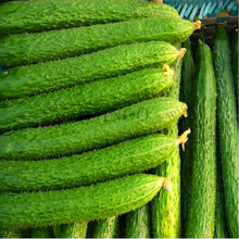 Time-Limit!!50pcs/bag Long cucumber seeds,Chinese cucumb Organic vegetable Seeds Rare Fruit cucumbe seeds for home garden,#TF79I
