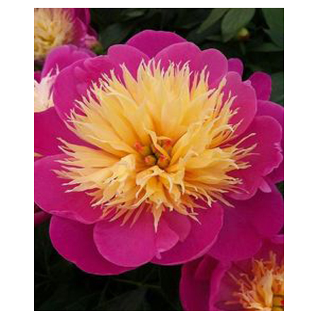 Noble pink petals and yellow stamens peony flower seeds potted bonsai garden courtyard terrace 12PCS