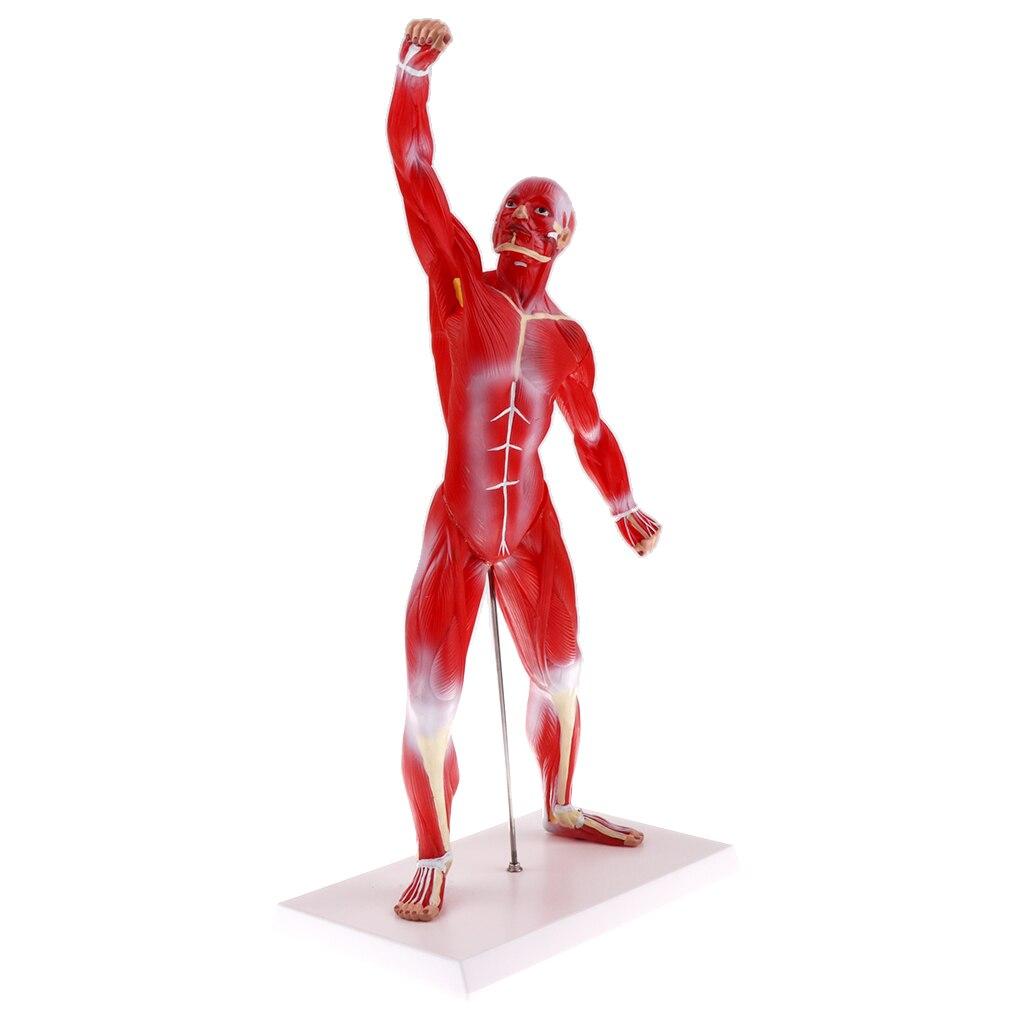 1:4 50cm Human Muscle Superficial Muscle Torso Skeleton Model Anatomical Teacing Display Lab Demonstration Ornament herbal muscle