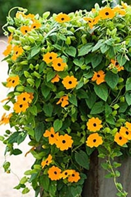 Seeds yellow climbing black eyed susan vine thunbergia alata seeds yellow climbing black eyed susan vine thunbergia alata organic flowers 100pcs mightylinksfo Image collections