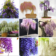 Five Different Rare Wisteria Seeds 10pcs