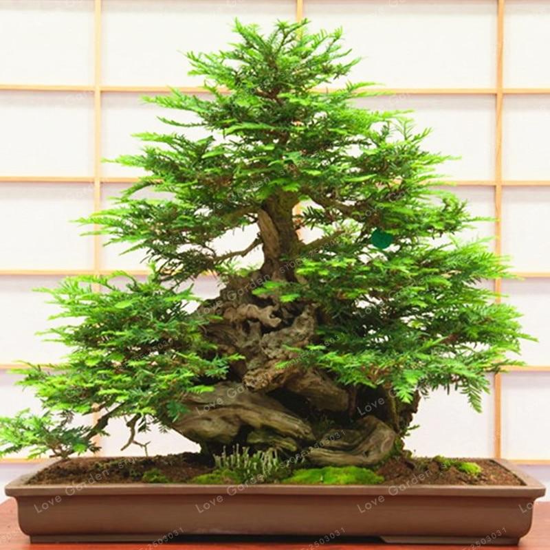Hot Sale Coast Redwood Bonsai Sequoia Sempervirens Bonsai Tree Bonsai Potted For Home Garden Easy To Grow 30 Pcs/Bag