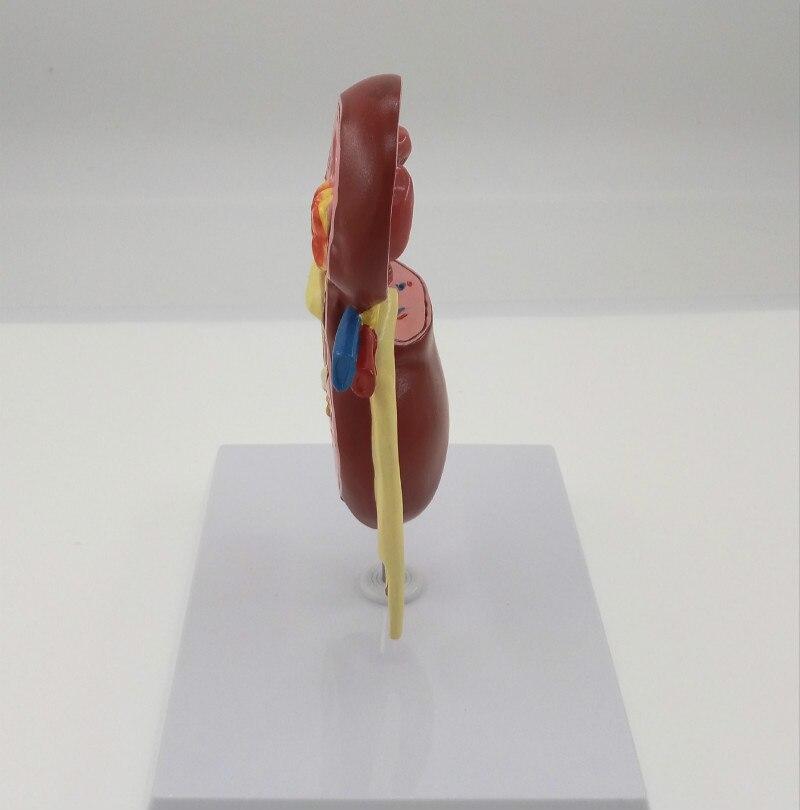 Ziemlich Menschliche Anatomie Orgel Ideen - Menschliche Anatomie ...