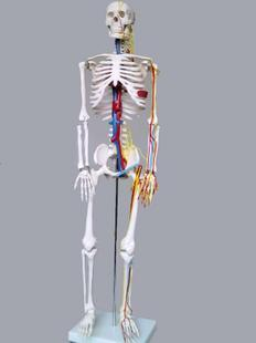 85cm human skeleton model with blood vine and nerve system high quality band model of the human body model