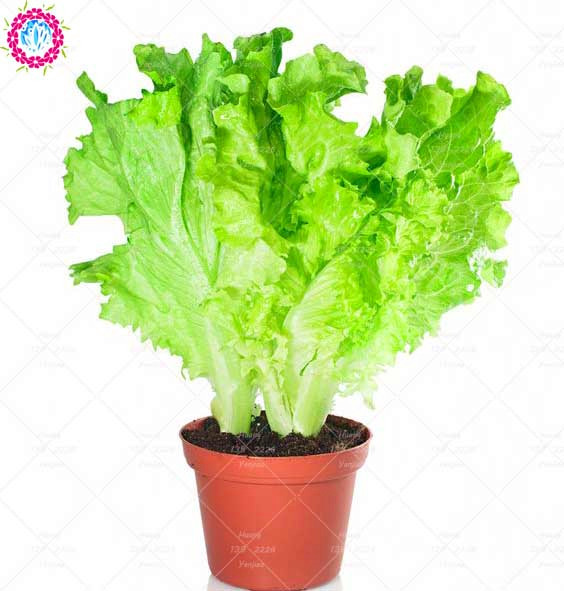 200PCS Bonsai Lettuce Seeds Grow Fast Good Taste Delicious Salad Vegetable Seeds For Home Garden Balcony Potted Plant Seeds