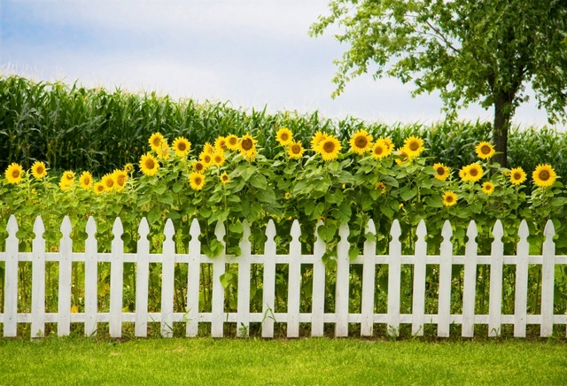 white picket fence. Sunflowers White Picket Fence Spring Photography Backdrop Photo Background  Quality Vinyl R