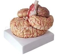 Human Brain Cerebral Artery Cranial Nerve Anatomy Model Neurology Biology Human Skeleton Toy