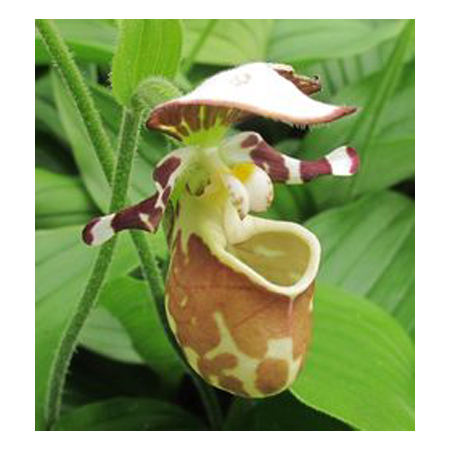 Cypripedium Orchid Flower Seed DIY Home Garden Outdoor Perennial Light Brown Color Dot Bonsai Pot Plants Seeds 120PCS
