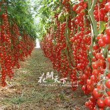 Семян/пакет плантаторов годности регулярные срок роман горшки растений цветочные !