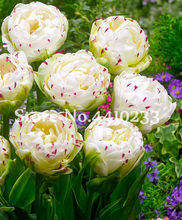 100 Pcs Cabbage Rare Tulip Bonsai Perennial Aroma Tulip Flower Beautiful Tulipanes Plant For Garden(Not Bulbs)Symbolizes Love(China)