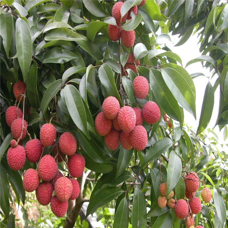 compare prices on litchi tree online shopping/buy low price, Beautiful flower