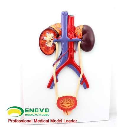 Human Urinary System Model Of Urinary Bladder And Urethra Model Of