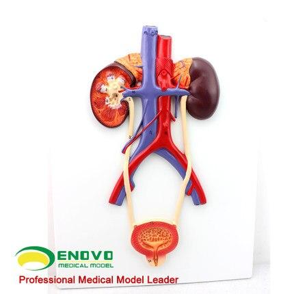 Modelo del sistema urinario humano de la vejiga urinaria y uretra ...
