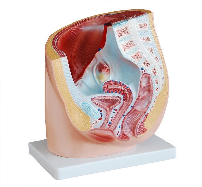 Female Model Sagittal Anatomical Models Female Genital Anatomical
