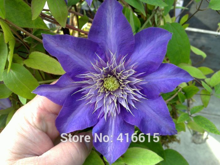 clematis seeds clematis blue light seeds vine flowers plant seed vines climbing plants bluetwiner twining plant - Vining Flowers