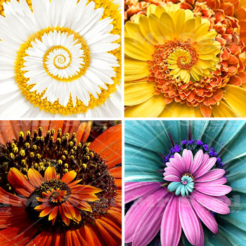 New Arrival 30pcs  A Miracle Daisy  seeds hardy bonsai  plants rare flower seeds  ornamental flowers