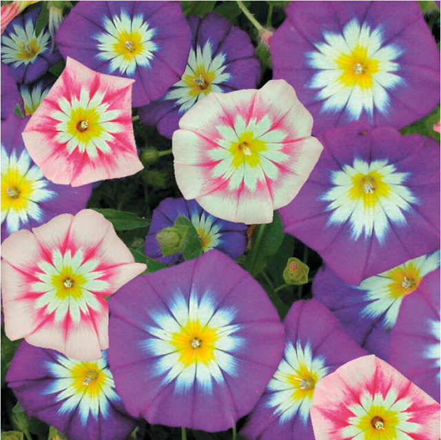 Approx 100 seeds pack yellow white and purple pink morning glory approx 100 seeds pack yellow white and purple pink morning glory seeds japan mightylinksfo