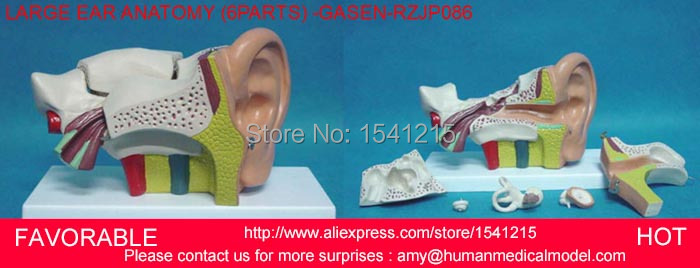 ANATOMY MEDICAL MODEL, ANATOMICAL MODEL,AURICLE,HUMAN ORGANS MODEL LARGE EAR ANATOMY,EAR ANATOMICAL MODEL, -GASEN-RZJP086 ear anatomical model anatomic model labyrinth inner ear vestibular enlargement ear structure model gasen ebh006