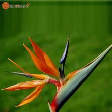 Indoor Potted Plant Flowers Orange Strelitzia Reginae Seed Bird of Paradise Seed 100 Particles / lot