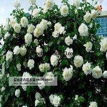 flowers seed for garden Climbing Rose 200pcs  floer GREAT PROMOTION Plants planters Bonsai