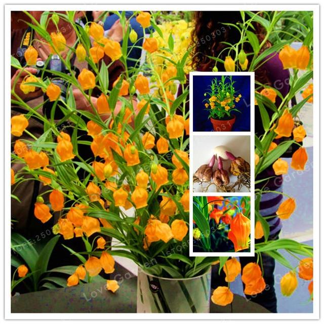 2 Bulb Lily Palace Lantern Rare Flower Garden Plant , Balcony Bonsai  Courtyard Plant Flowers Lily