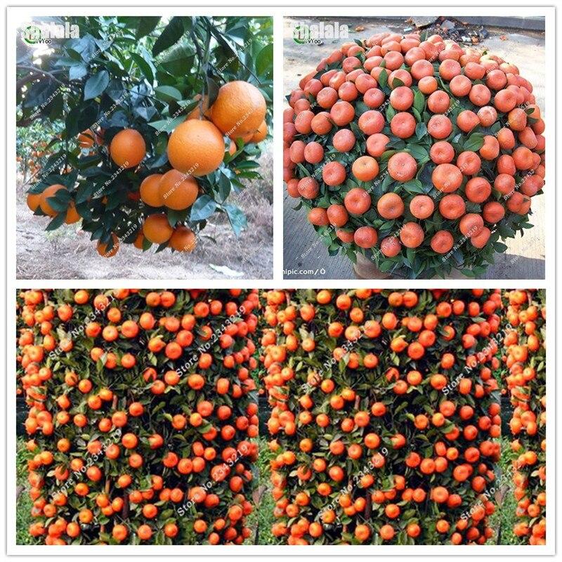 20Pcs Orange Seeds Mini Potted Edible Fruit Seeds Bonsai China Top Quality Orange Tree Seeds Plants