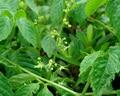 New Home Garden Plant 30 Seeds Gynostemma Pentaphyllum Seeds Free Shipping