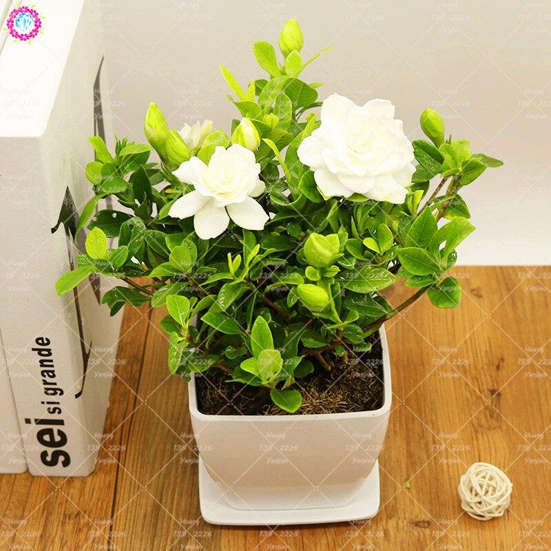 2pcs Real Gardenia bulb (Cape Jasmine) Bonsai Flower Bulbs Open Pollinate Smell Fragrant Balcony Plant pot For Home Garden