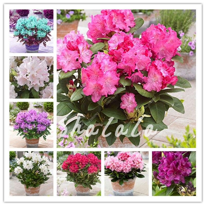 Us 0 28 60 Off 100 Pcs Bag Anese Azalea Bonsai Rhododendron Outdoor Flower Tree Diy Plant Home Garden Easy To Grow On