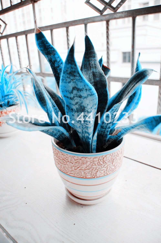 120 Pcs Del Serpente Pianta Perenne Blu Sansevieria Trifasciata Prain Bonsai Succulente Fogliame Piante da Interno Per La Casa Decorazione del Giardino