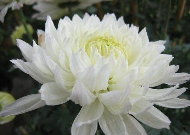 Fresh Cut Flowers 20 Tie A Level White Chrysanthemums In Bonsai