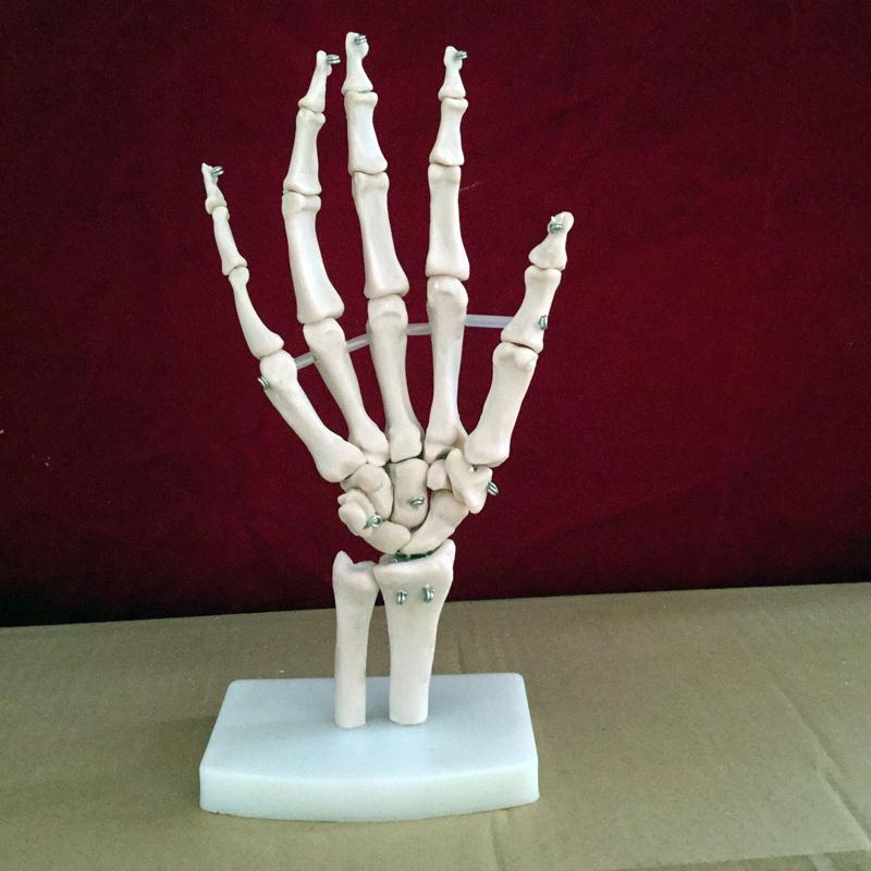 Mano conjunto esqueleto modelo humano esqueleto modelo Vola ...