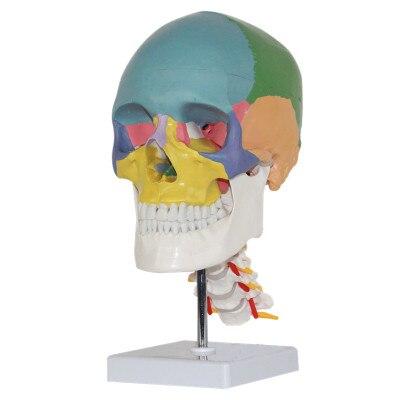Color humano adulto cráneo con cervical uso médico arte pintura ...