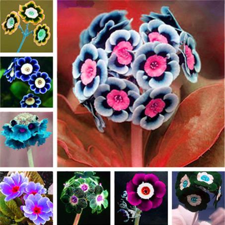 Очень дешево 500 шт. примулы вечерней Европа Примула malacoides Разноцветные бонсай цветок для дома сад supples завод подарок для жены