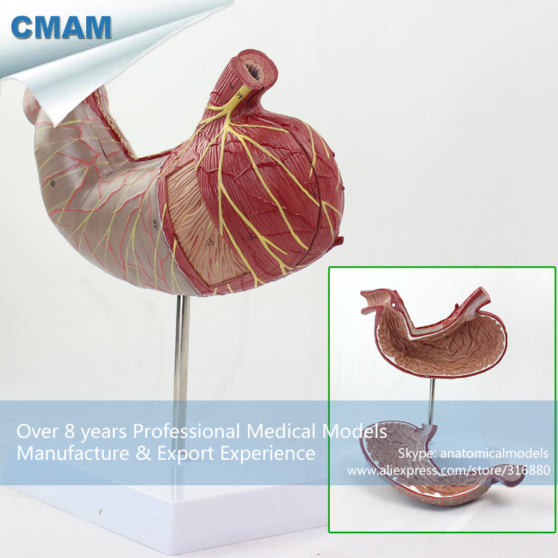 CMAM-STOMACH02 Human Digestive System Model Medical Science Stomach Anatomy cmam viscera01 human anatomy stomach associated of the upper abdomen model in 6 parts