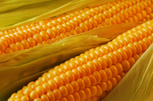Aliexpress.com : Buy 5 Pack 50 Seed Corn Seeds Yellow Waxy Corn ...