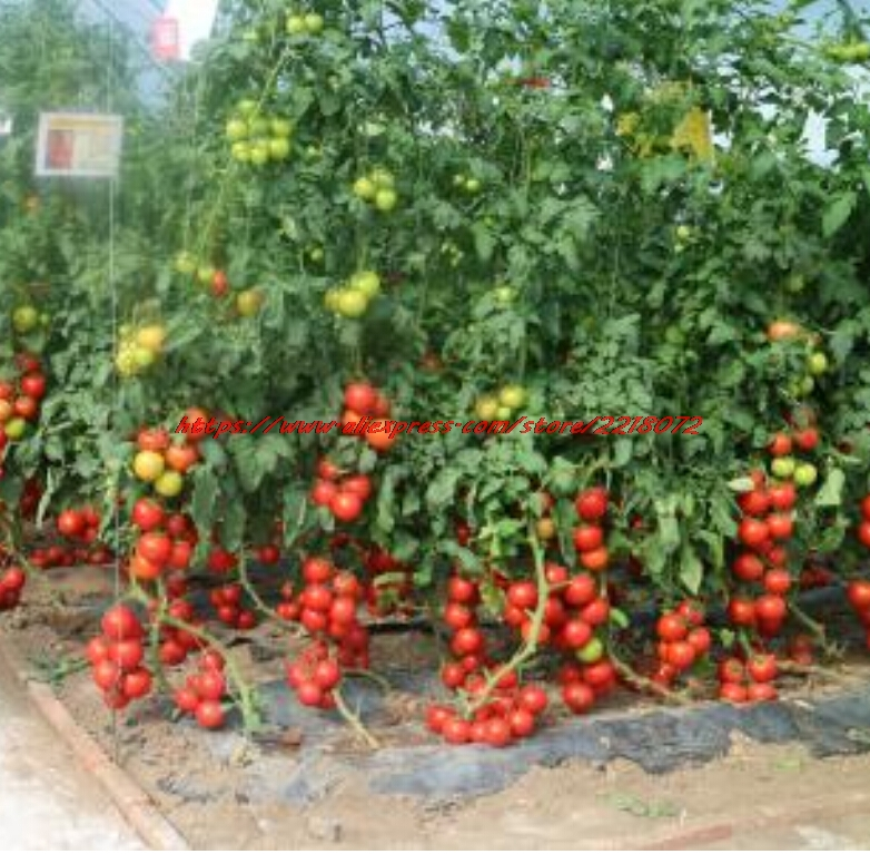 Vegetables, Big, Organic, Seeds, Sweet, Tomato