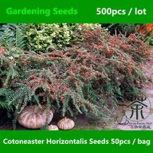500Pcs Cotoneaster Horizontalis Rosaceae Rockspray Seeds