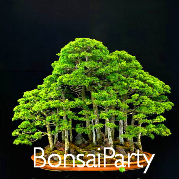 20piecesbag juniper bonsai tree seeds potted flowers office bonsai purify the air absorb harmful gases1en00e bonsai tree office table